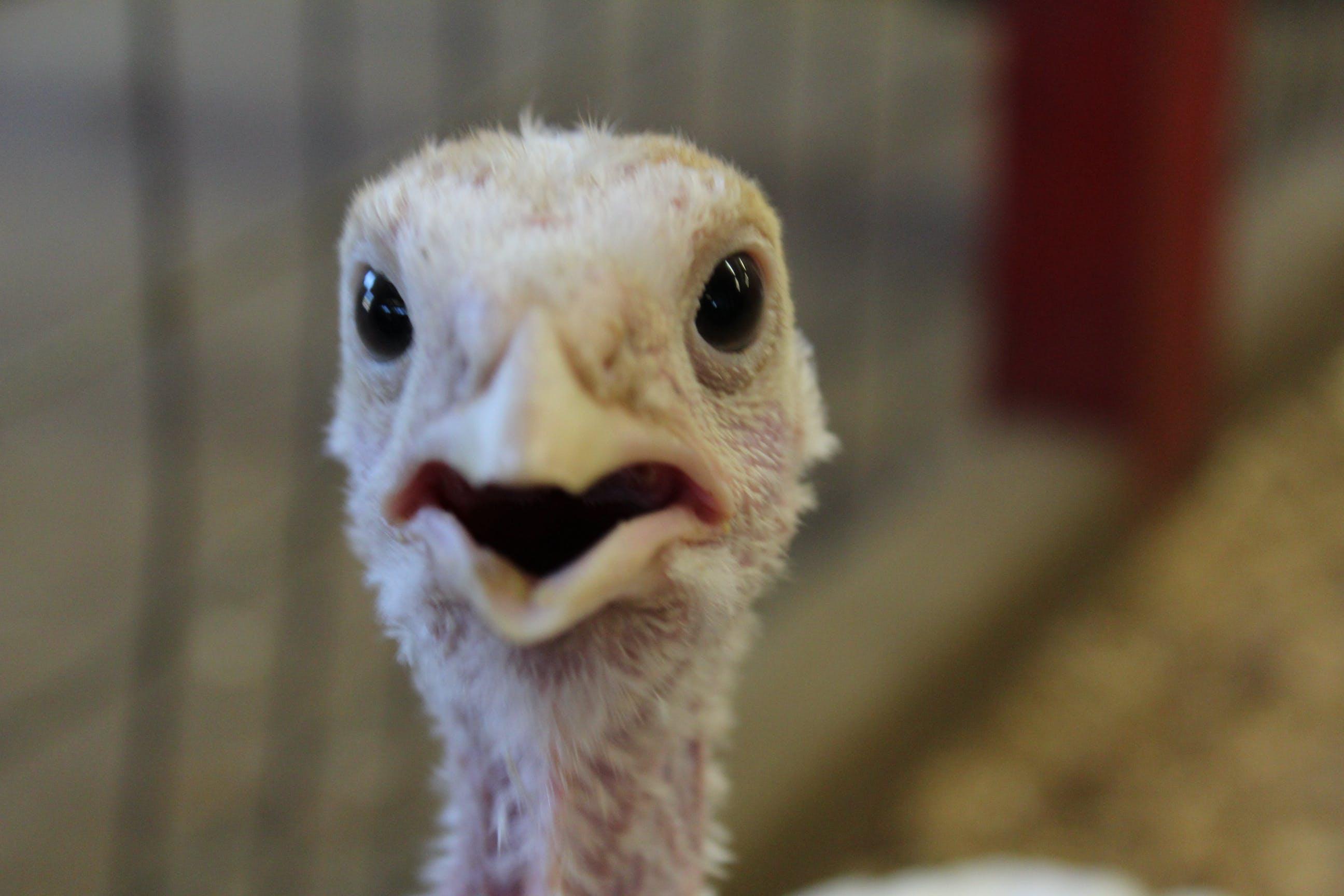Free stock photo of bird, farm, funny, scary