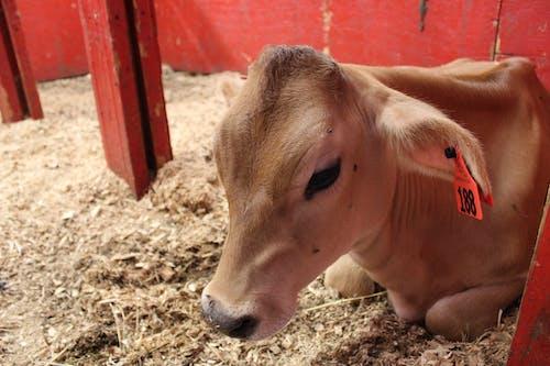 Free stock photo of baby cow, calf, cow, farm