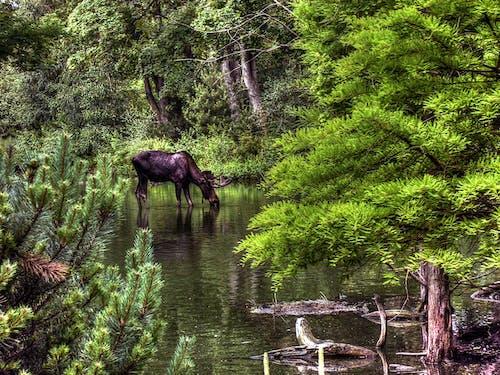 Black Moose Drinking Water