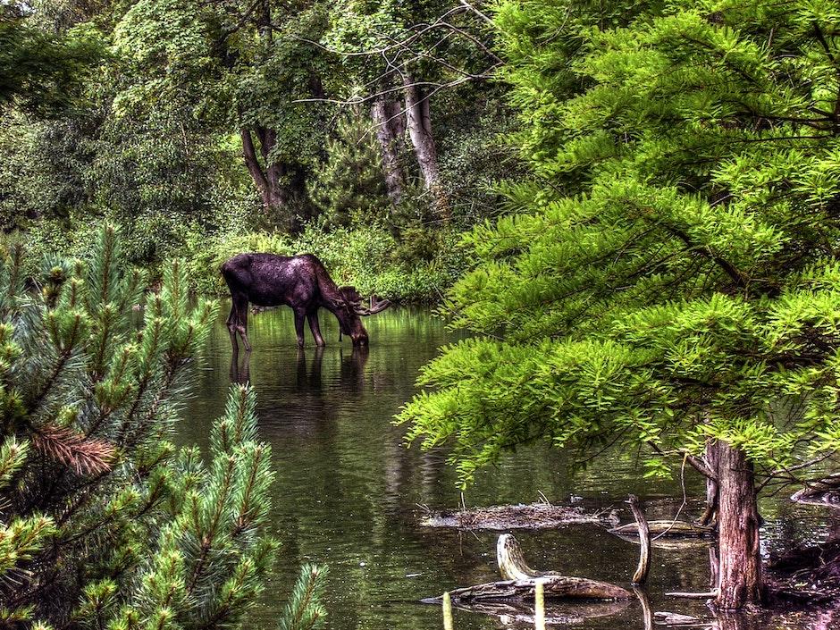 animal, drinking, elk