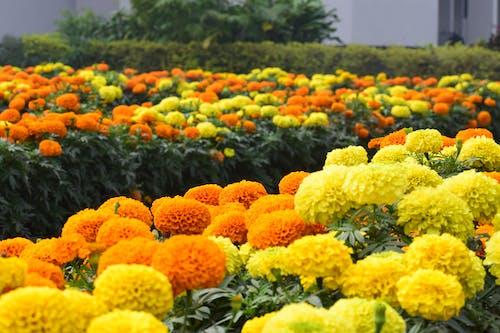 Free stock photo of beautiful flowers, yellow flowers