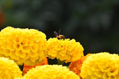 Free stock photo of honey bees, honeybees