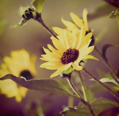 Free stock photo of black eyed susan, daisy, diana westberg