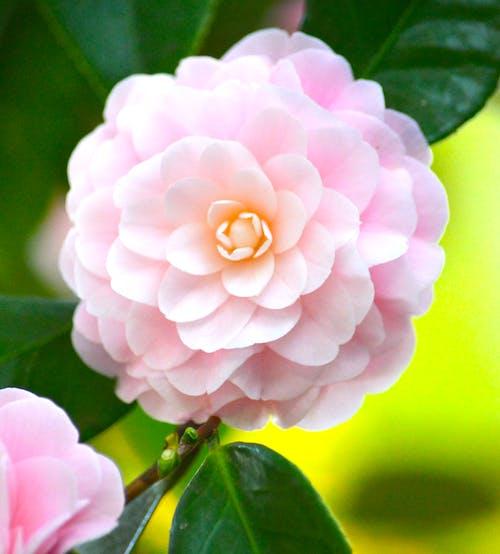 Free stock photo of beautiful flowers, camellia, diana westberg