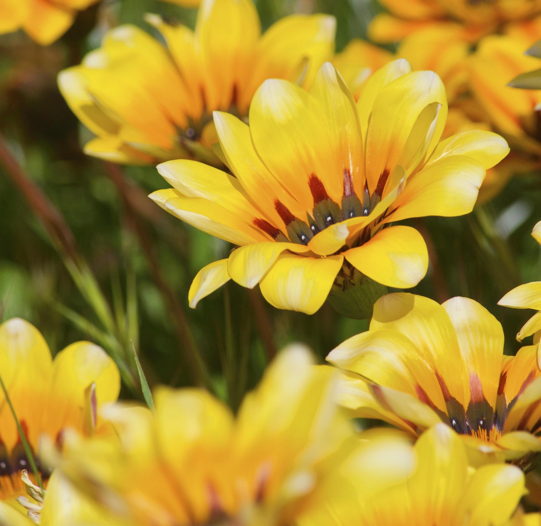 Free Stock Photo Of African Daisy Beautiful Flowers Daisy