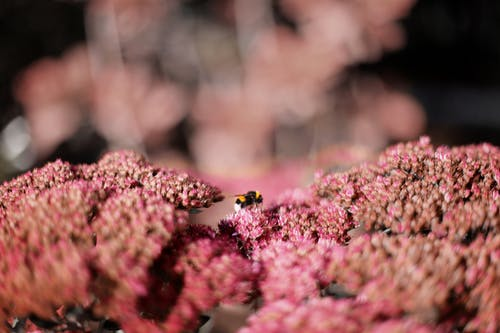 Photo of Bee on Pink Petaled Flowers
