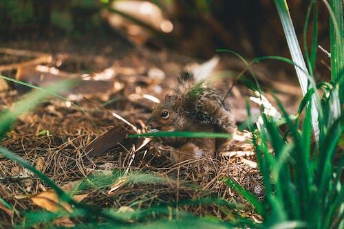 Kostenloses Stock Foto zu backenhörnchen, baum, boden, buschiger schwanz