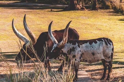 Kostenloses Stock Foto zu acker, african safari, afrika, bulle