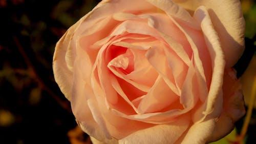 Бесплатное стоковое фото с зима, роза, розовый