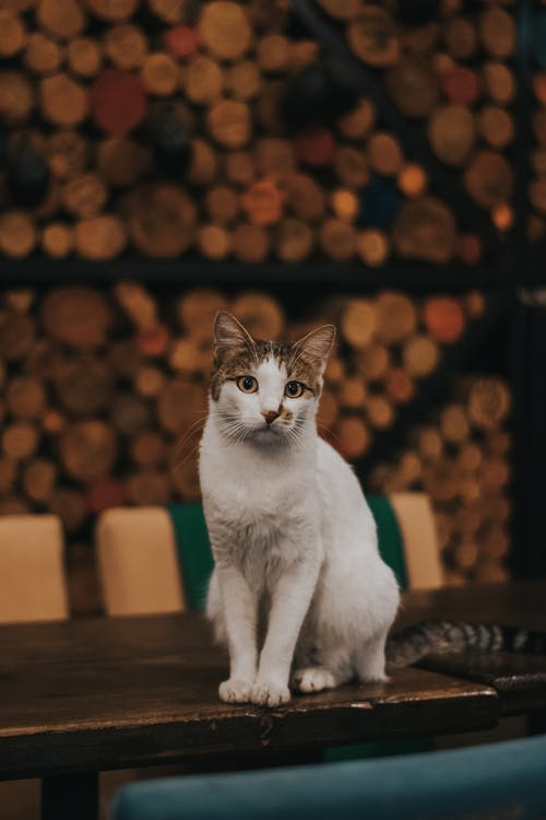 White Cat on Wooden Table