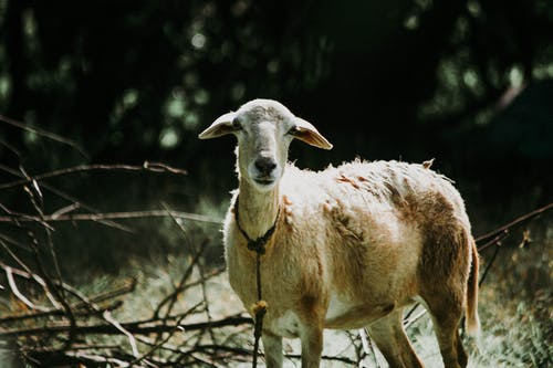 Fotobanka sbezplatnými fotkami na tému čierna, farby, koza, ovca