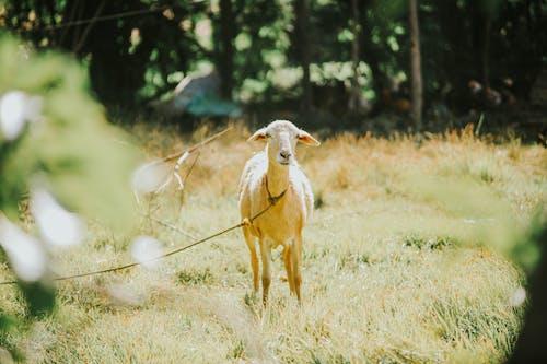 Fotobanka sbezplatnými fotkami na tému koza, magická hodina, ovca, svetlé farby