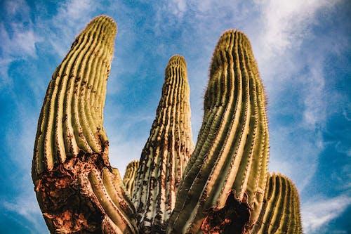 Ilmainen kuvapankkikuva tunnisteilla aavikko, arizona, autiomaassa, kaktus
