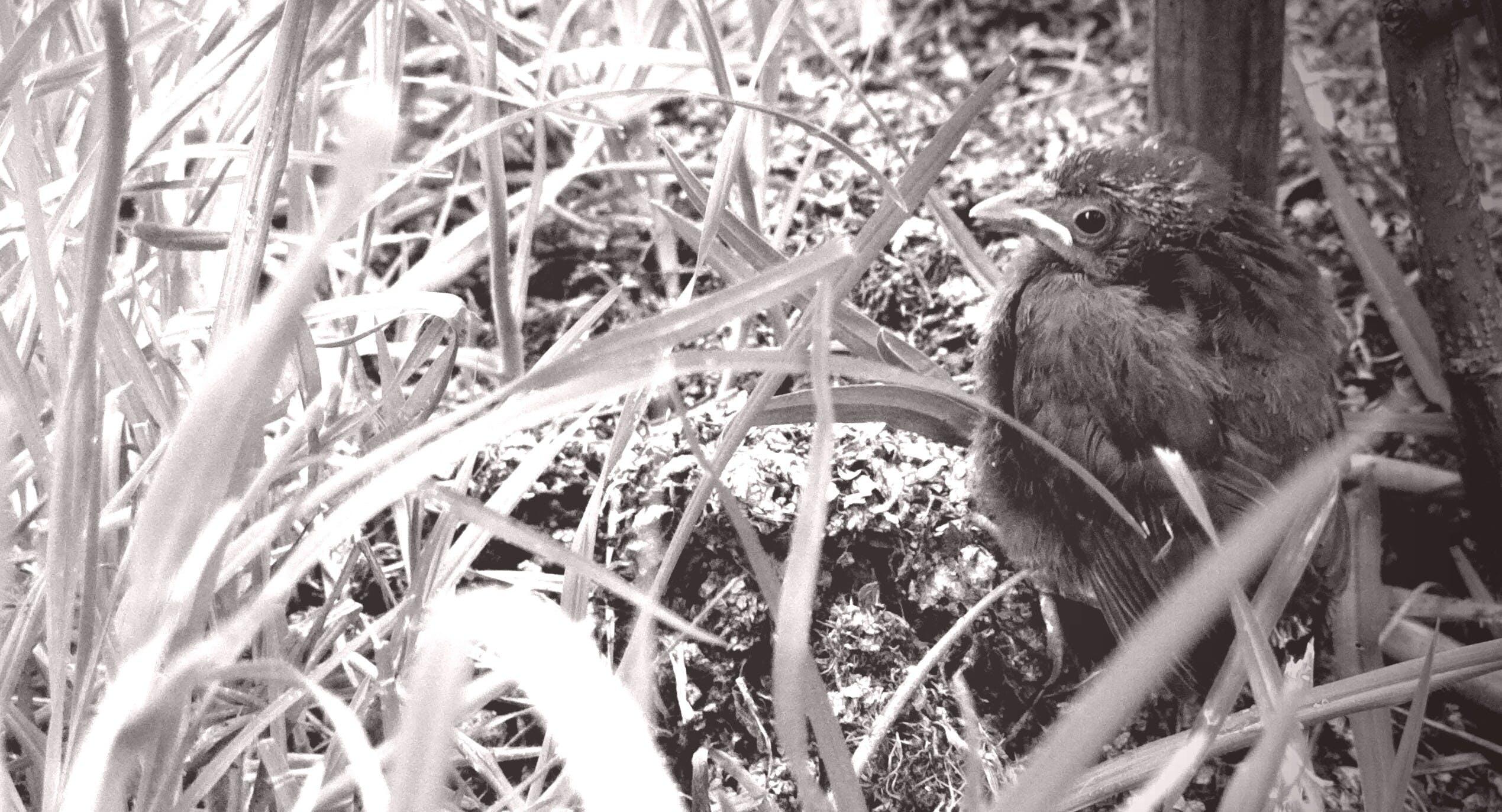 Free stock photo of bird, black and white, blackbird
