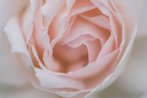 White Rose in Close Up Photography