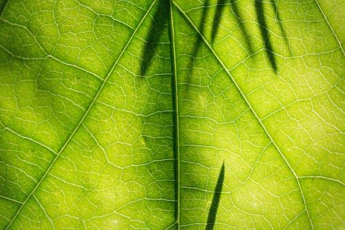 Бесплатное стоковое фото с абстрактный, асимметрия, ботаника, вены