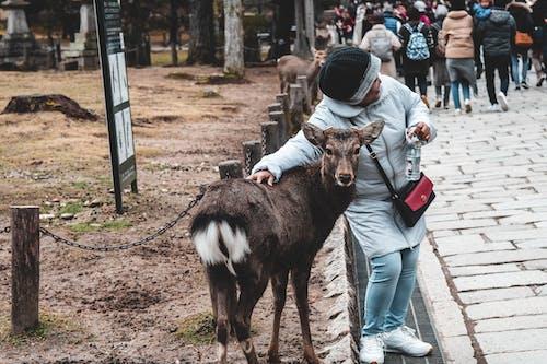 Fotos de stock gratuitas de animal, ciervo, Japón, parque nara
