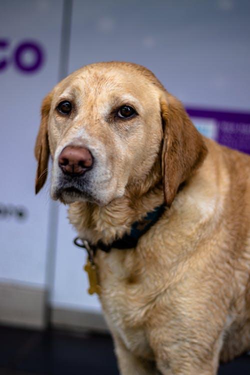Free stock photo of animal portrait, dog, labrador, old dog