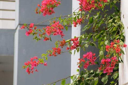 Free stock photo of bougainvillea, bougainvilleas