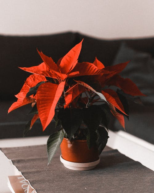 Red Leaves Plant on Brown Pot