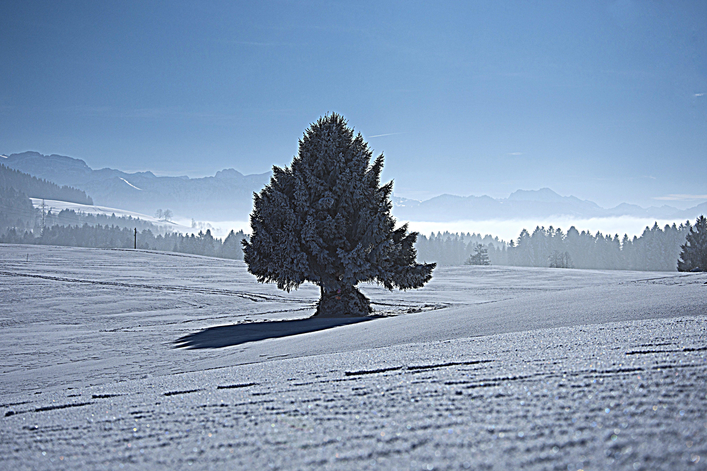 Free stock photo of blue sky, fir tree, fog, frozen