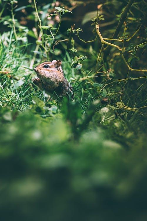 Základová fotografie zdarma na téma čipmank, divočina, fotografie divoké přírody, fotografování zvířat