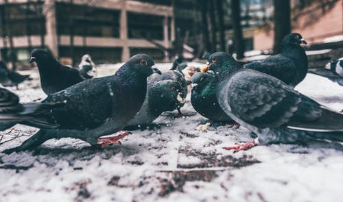 Photo of Rock Pigeons on Ground