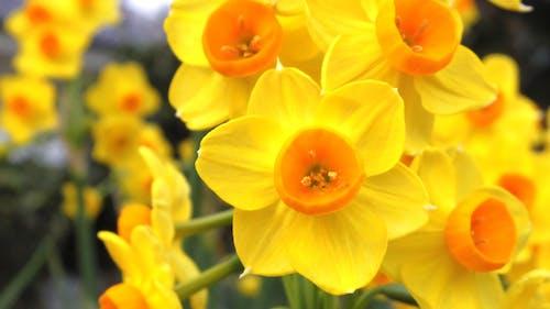 Бесплатное стоковое фото с желтый, нарцисс