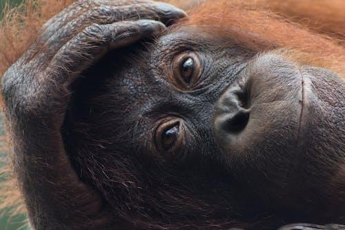 Free stock photo of borneo, orangutan, wildlife photography