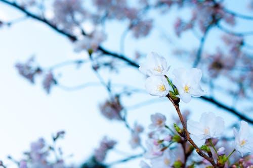 Fotobanka sbezplatnými fotkami na tému detailný záber, flóra, jemný, kvet ovocného stromu