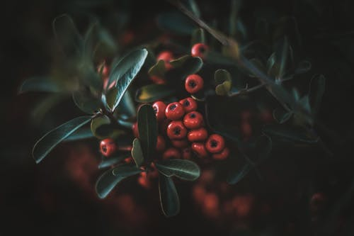 Shallow Focus Photo of Red Berries