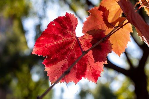 Ilmainen kuvapankkikuva tunnisteilla lehdet, syksyn värit, viinitarha