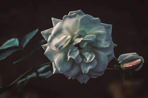 Ilmainen kuvapankkikuva tunnisteilla valkoinen ruusu
