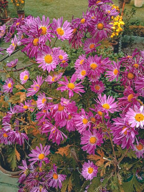 bahçe çiçekleri, güzel çiçek, HD duvar kağıdı içeren Ücretsiz stok fotoğraf