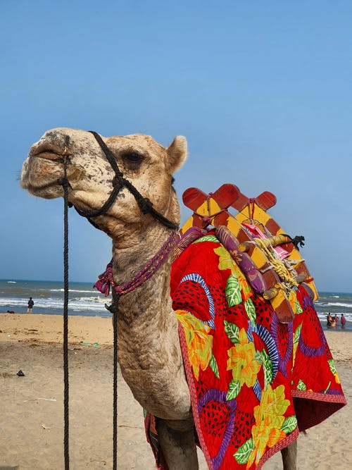 Camel With Floral Saddle