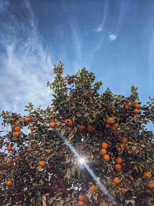 Photo Of Orange Tree Under The Sun
