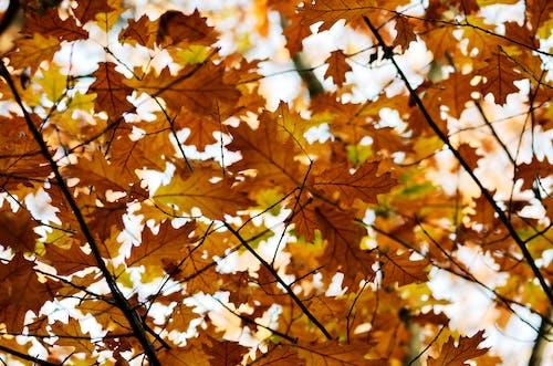 Gratis arkivbilde med blad, blader, dagslys, eik