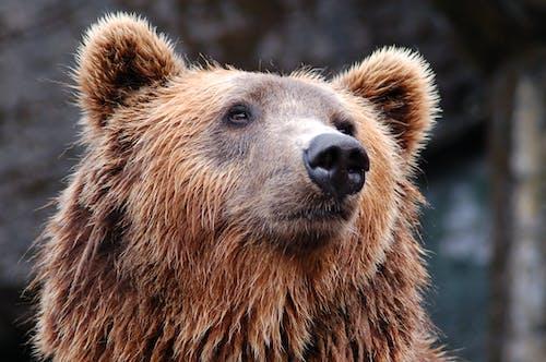 Darmowe zdjęcie z galerii z niedźwiedź, niedźwiedź brunatny, ogród zoologiczny, zoo