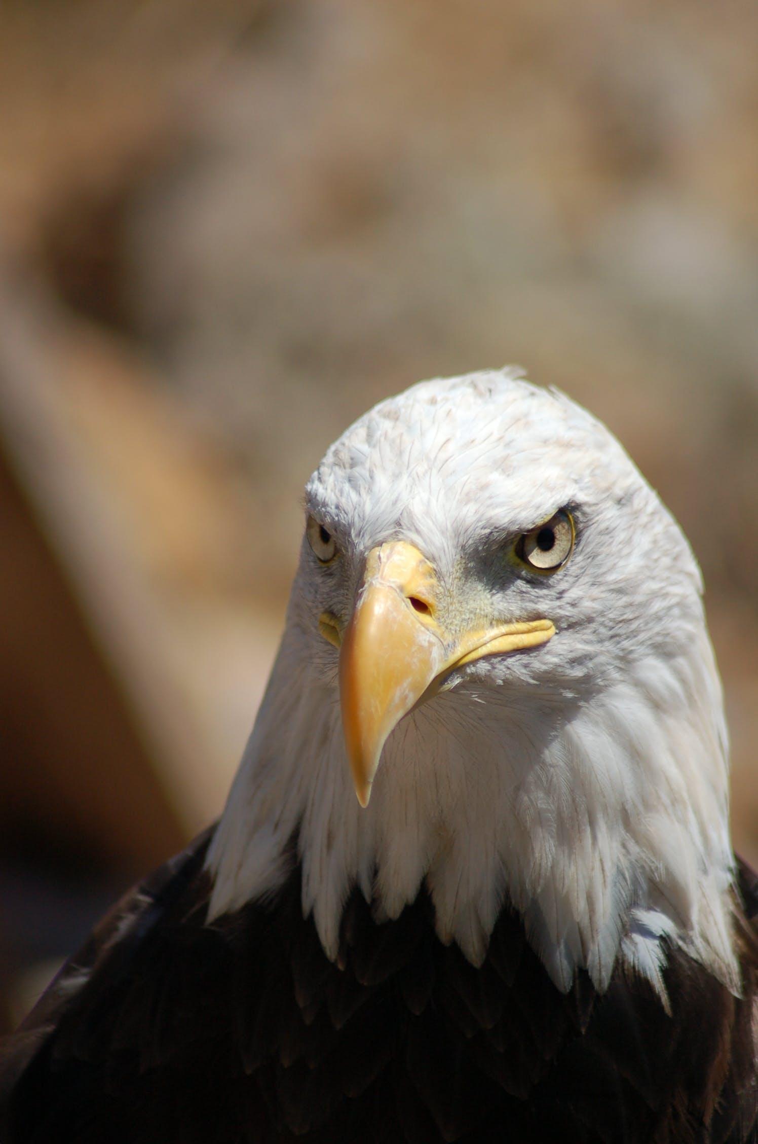 Free stock photo of bird, beak, eagle