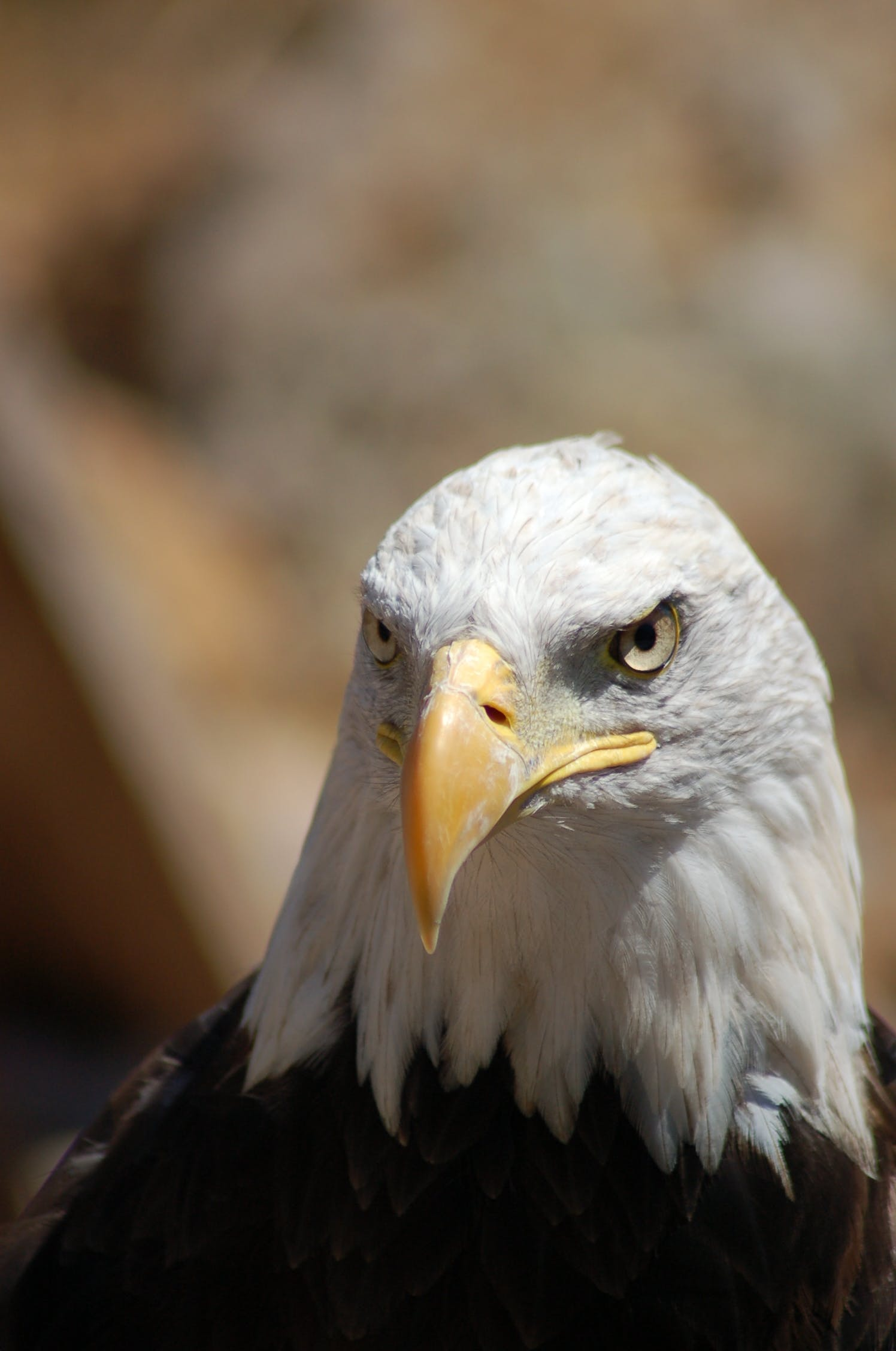 beak, bird, eagle