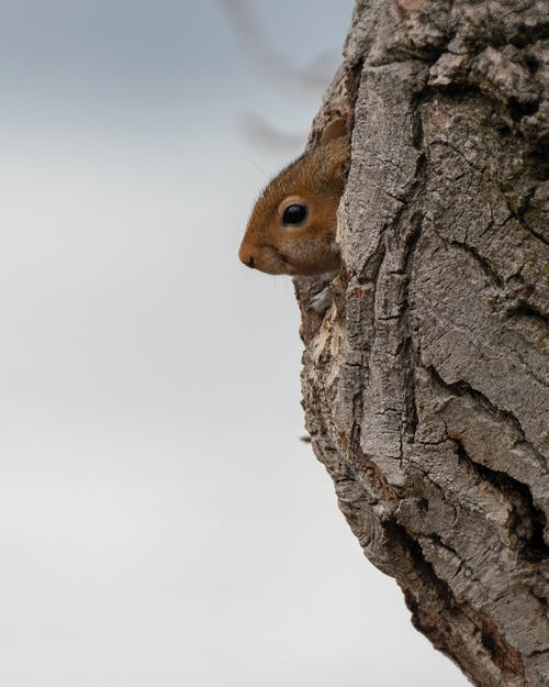 Small Brown Squirrel In White Backgroud