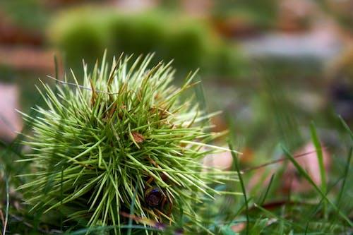 Foto d'estoc gratuïta de castanyer castanyer, herba, verd