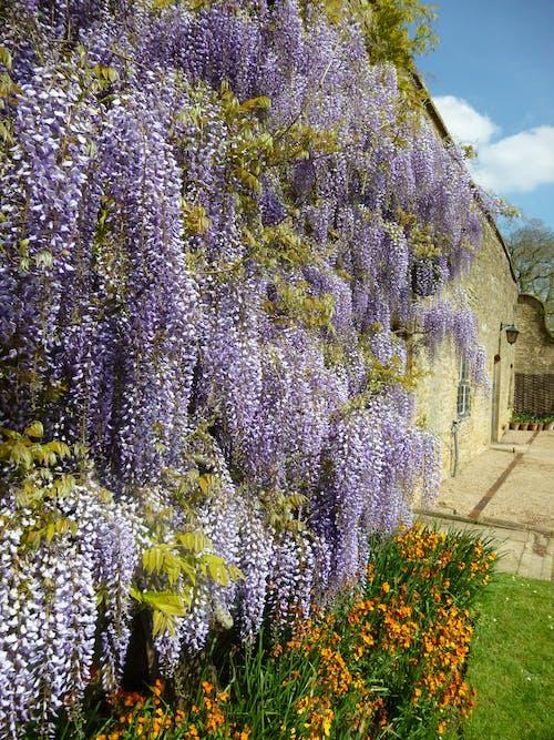 Foto stok gratis bagus, berbunga, berkembang, bunga lavender