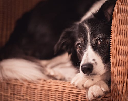 Free stock photo of chair, cute, dog, dog face