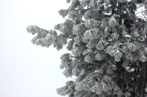 Безкоштовне стокове фото на тему «дерево, зима, пондероса, пондероса сосни»