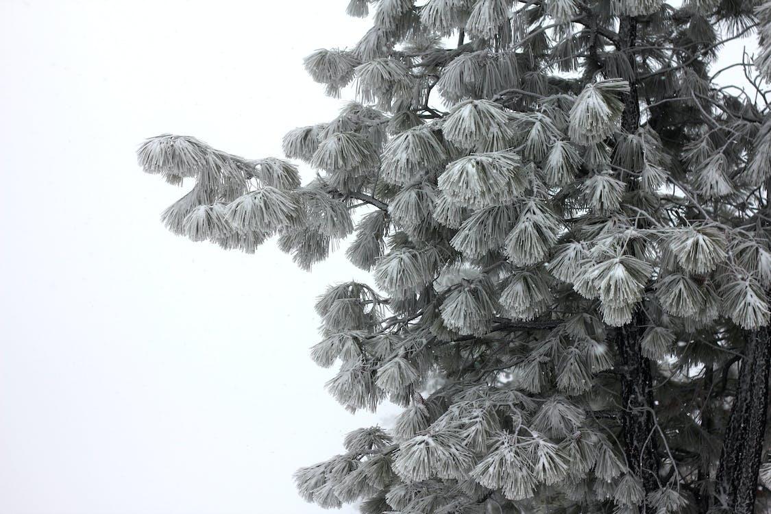 ポンデローサ, ポンデローサパイン, 冬の無料の写真素材