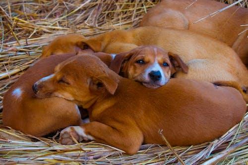 Kostenloses Stock Foto zu brauner hund, hund, welpe, welpen