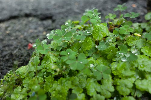 Free stock photo of clover, green, plant