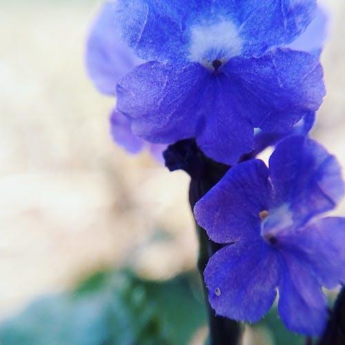 Gratis stockfoto met blauwe bloemen, bloem, heuvel bloem, macro