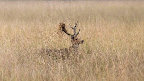 Fotos de stock gratuitas de animal, animales salvajes, césped, ciervo